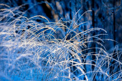 Frost-covered hays in sunshine. Against blue background royalty free stock images