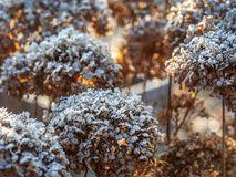 Frost-covered hortensia flowers royalty free stock image