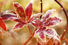 Frost Covered Japanese Maple Leaves Stock Photos