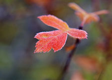 Frost covered leaf backlit. By the light of the rising sun Stock Photography