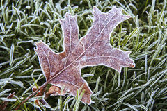 Frost covered leaf resting on the frosty grass. On a frosty fall morning the leaves are covered with tiny ice crystals Royalty Free Stock Images
