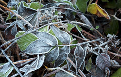 Frost covered leaves. Close up of frost covered winter leaves Stock Image