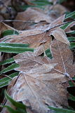 Frost Covered Leaves. Fallen leaves covered in frost on the forest floor stock photo