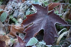 Frost Covered Leaves. Fallen leaves covered in frost on the forest floor stock images