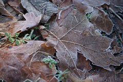 Frost Covered Leaves. Frosty leaves covering the forest floor stock photography