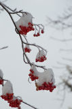 Frost Covered Mountain Ash Branch with Multiple Berry Clumps Stock Photos