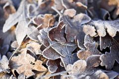 Frost Covered Oak Leaves Royalty Free Stock Photography