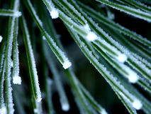 Frost Covered Pine Needles Macro. Frost covered pine needles closeup stock photos