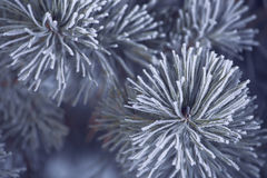 Frost covered pine tree Royalty Free Stock Photos