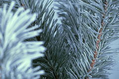 Frost covered pine tree Stock Photos