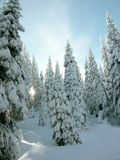 Frost covered pine trees royalty free stock photo