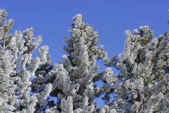 Frost Covered Pine Trees. Tops of Pine Trees covered with Frost Royalty Free Stock Photos