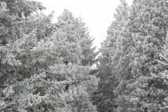Frost Covered Pine Trees Stock Images