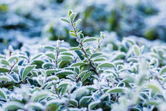 Frost covered plant Royalty Free Stock Image