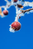 Frost covered red berry. Bright red frost covered rose-hip berry with blue sky behind Stock Image