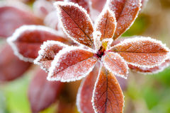 Frost covered red leaves Royalty Free Stock Image