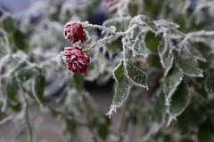 Frost Covered Roses. royalty free stock photo