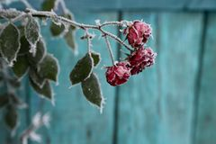 Frost Covered Roses. Selective focus.background is a painted wooden Board Royalty Free Stock Photo