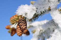 Frost Covered Spruce Tree Branch Royalty Free Stock Image