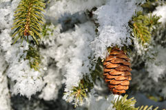 Frost Covered Spruce Tree Branches Royalty Free Stock Photos