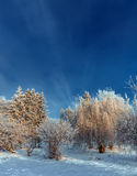 Frost covered tree tops on a background of blue sky Royalty Free Stock Photo