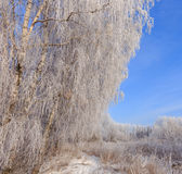 Frost covered tree tops on a background of blue sky Stock Photos