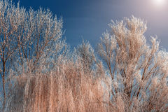Frost covered tree tops on a background of blue sky Royalty Free Stock Image