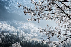 Frost covered tree Royalty Free Stock Images