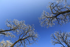 Frost covered trees, profiled on bright sky in winter. In a city park Stock Photography
