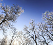 Frost covered trees, profiled on bright sky in winter. In a city park Royalty Free Stock Images