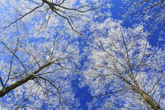 Frost covered trees, profiled on bright sky in winter. In a city park Stock Images