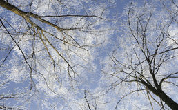 Frost covered trees, profiled on bright sky in winter Stock Photo