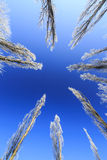 Frost covered trees, profiled on bright sky in winter Royalty Free Stock Photography