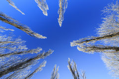 Frost covered trees, profiled on bright sky in winter Stock Image