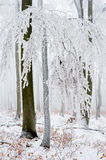 Frost covered treetrunk in the forest Royalty Free Stock Photo