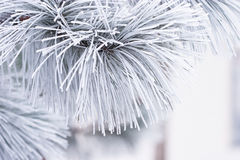 Frost Covered White Pine Needles Stock Image