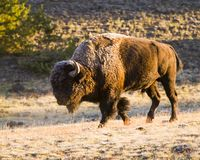 Frost covers this bison in Yellowstone royalty free stock photo