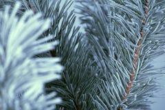 Frost cubrió el árbol de pino Fotos de archivo