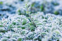 Frost cubrió la planta imagen de archivo