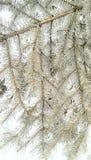 Frost cubrió la rama de la conífera Fotografía de archivo