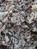 Frost cubrió las hojas en una mañana temprana del otoño Fotos de archivo