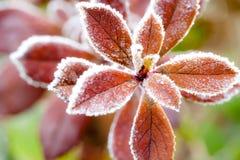 Frost cubrió las hojas rojas Imagen de archivo libre de regalías