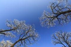 Frost cubrió los árboles, perfilados en el cielo brillante en invierno Fotografía de archivo