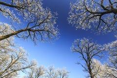 Frost cubrió los árboles, perfilados en el cielo brillante en invierno Imágenes de archivo libres de regalías