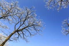 Frost cubrió los árboles, perfilados en el cielo brillante en invierno Fotos de archivo libres de regalías