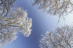Frost cubrió los árboles, perfilados en el cielo brillante en invierno Fotos de archivo