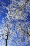 Frost cubrió los árboles, perfilados en el cielo brillante en invierno Imagen de archivo libre de regalías