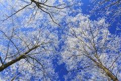 Frost cubrió los árboles, perfilados en el cielo brillante en invierno Imagenes de archivo