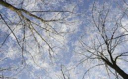 Frost cubrió los árboles, perfilados en el cielo brillante en invierno Foto de archivo