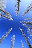 Frost cubrió los árboles, perfilados en el cielo brillante en invierno Foto de archivo libre de regalías